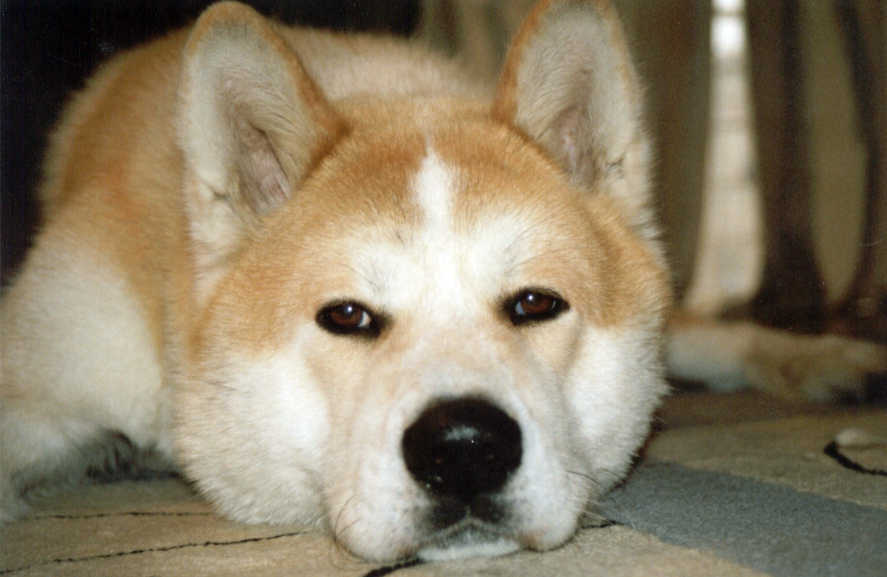 Image Gallery hachiko dog breed