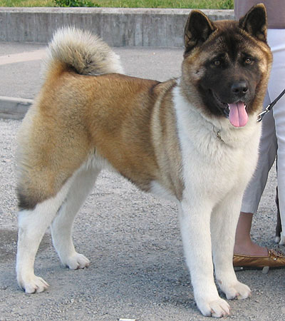 Top 10 Cutest Japanese Dog Breeds