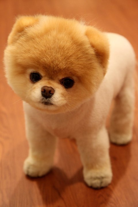 What Breed Is Boo The Cutest Dog In The World